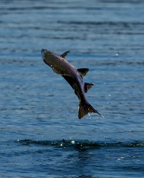 Leaping Salmon
