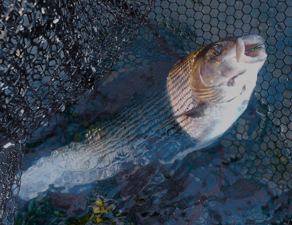 A fine Tweed grayling on the upper Tweed  in the net